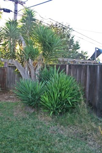 yucca stump