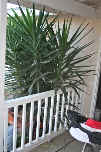 Pokey Yucca